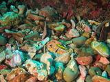 フタスジタマガシラの幼魚