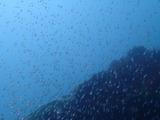 キンメモドキの稚魚