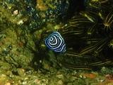 タテジマキンチャクダイ 幼魚