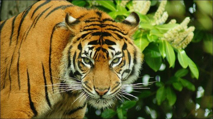 665411-tiger4