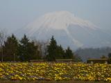 花と雪の大山