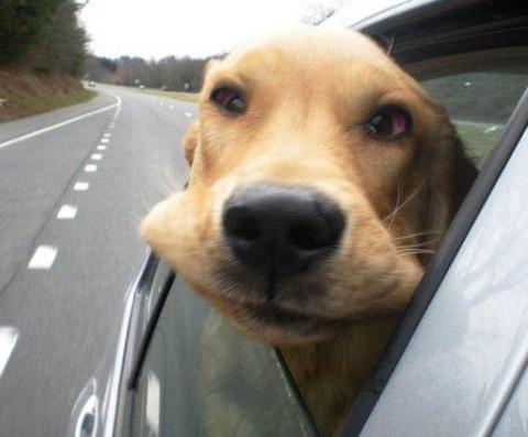 dog-in-car-window12