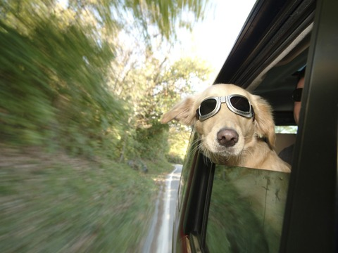 dog-in-car-at-dogPACER