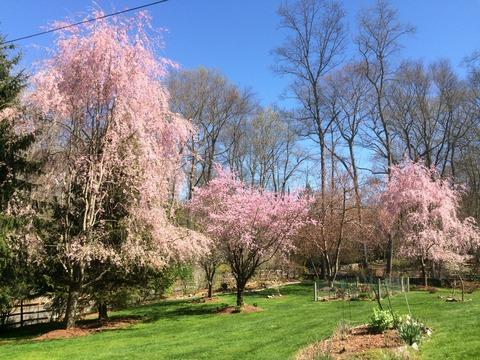 桜150430