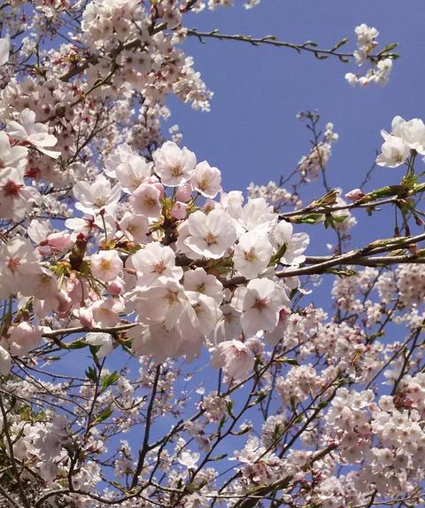 桜フリー画像