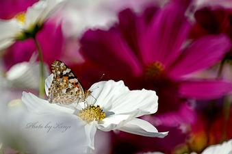 コスモスの花の上
