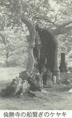 倫勝寺の船繋ぎのケヤキ