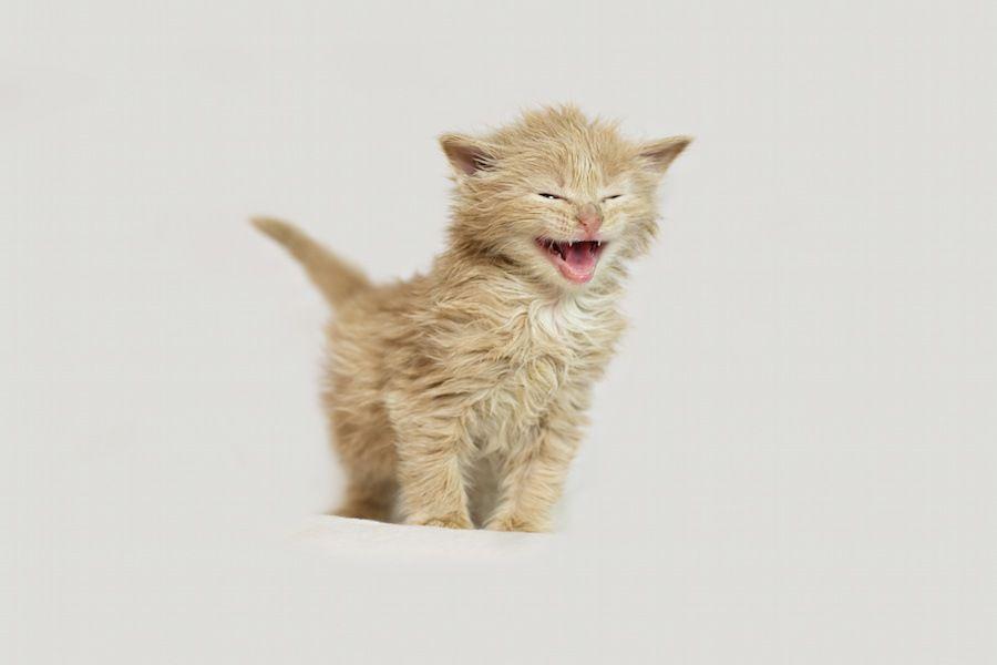 必死に鳴く茶色の子猫