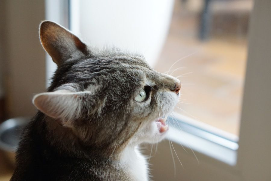 窓の外を見て鳴く猫