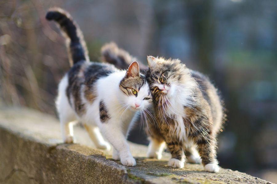頭をくっ付けて歩く二匹の猫