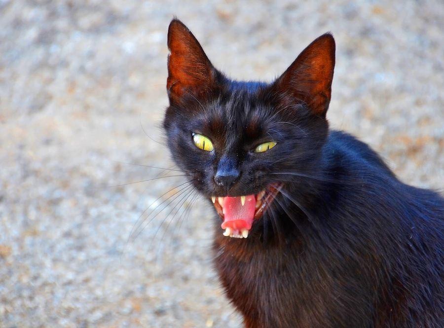 鳴きながら振り向く小さな黒猫