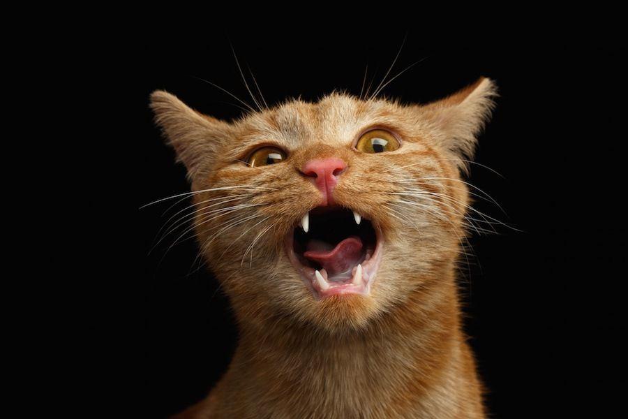 懸命に鳴く茶トラの子猫