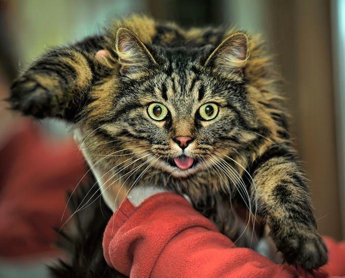 抱っこされて嫌がる長毛猫