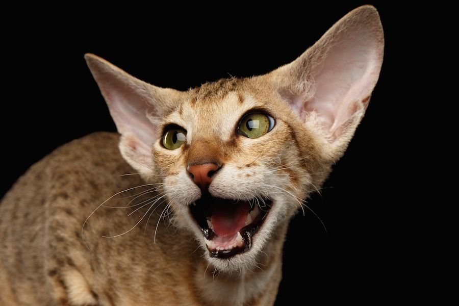 大きく口を開けて鳴く猫の顔