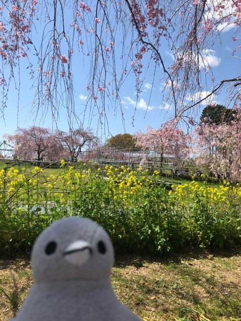 こぶどうちゃんと大豆 春のお花見 熊出没の巻_190412_0022