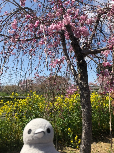 こぶどうちゃんと大豆 春のお花見 熊出没の巻_190412_0025