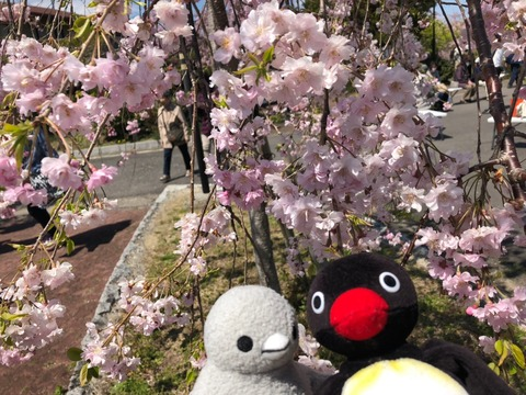 こぶどうちゃんと大豆 春のお花見 熊出没の巻_190412_0016