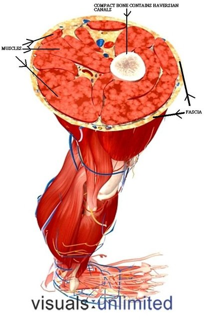 transverse section of a leg