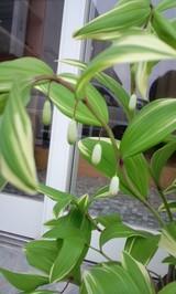 アマドコロの花