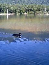 カモin大正池