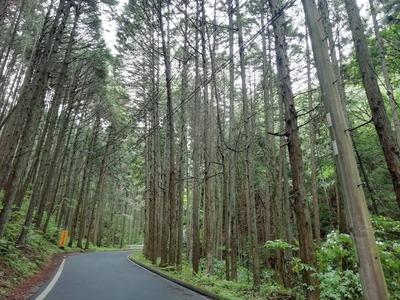 杉の中の道