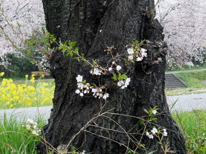 桜140410