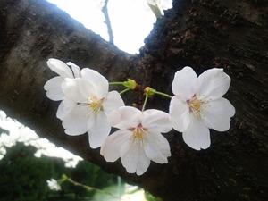 170310桜
