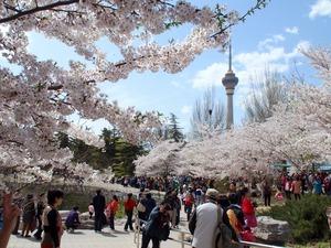 1603桜とスカイツリー