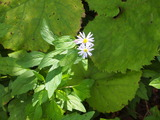 蝦夷野紺菊