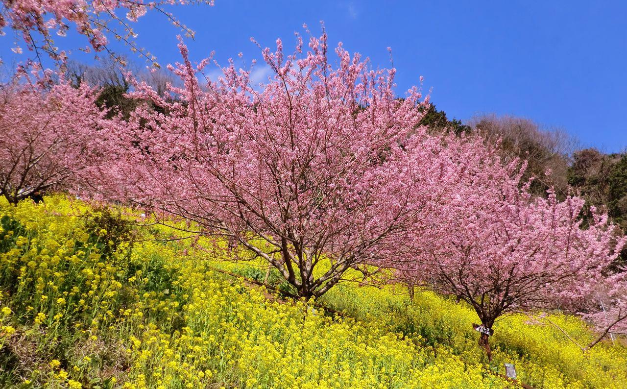 菜の花の絨毯と春めき桜&おかめ桜(右) NPO戸田市ITボランティアの会