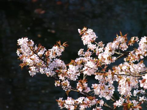 07yamazakura_kitakami1[1]