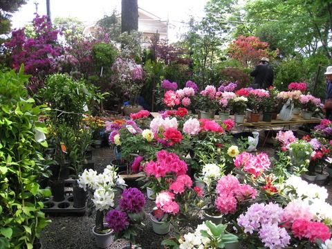 植木市の石楠花