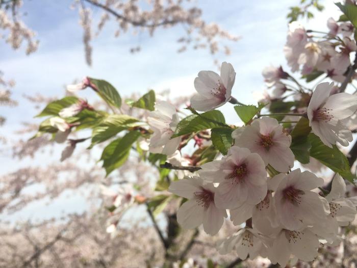 「梅は2月」「桜は卒業式から入学式の間」
