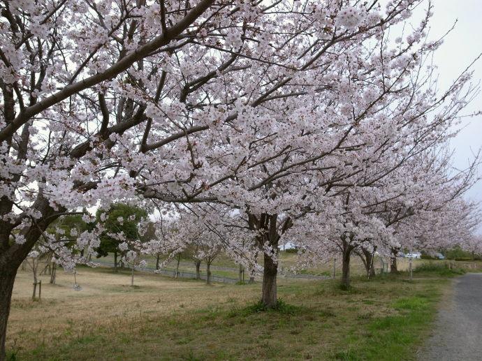 さが桜マラソン12