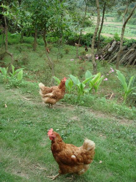 地鶏ファームたまこ21