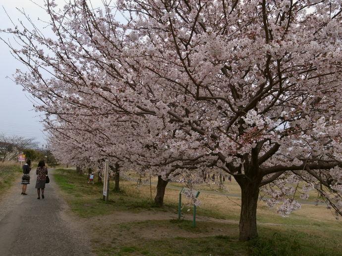 さが桜マラソン51