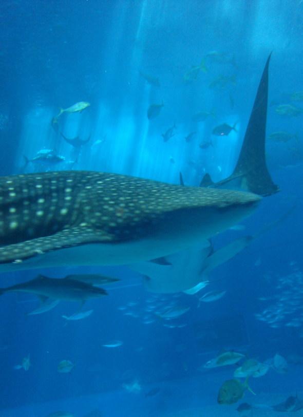 沖縄美ら海水族館68