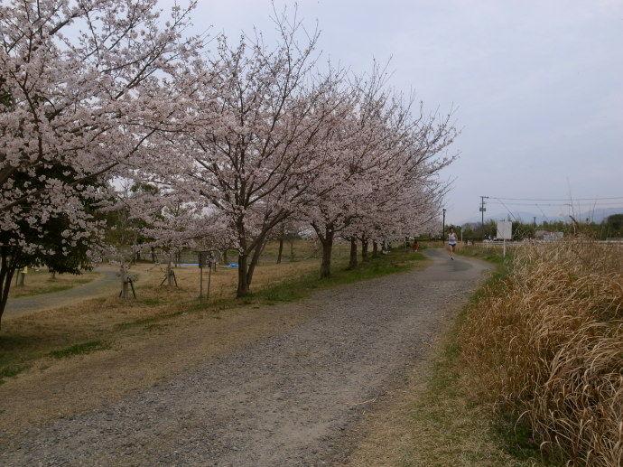 さが桜マラソン53