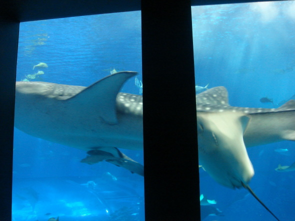 沖縄美ら海水族館34