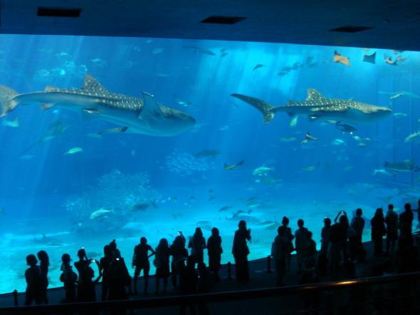 沖縄美ら海水族館31