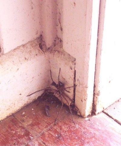 spider_Pitcairn_087