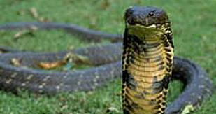 imagesコブラ