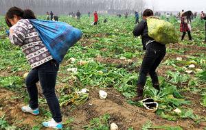 中国の農民が大根300㌧を無料配布!→その結果はやっぱり