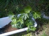 オクトリカブト植え替え