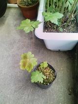 白花トリカブト