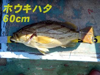 ホウキハタ60cm