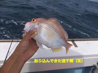 山陰9連子鯛