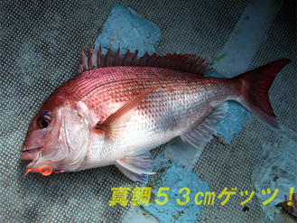 真鯛53cmゲッツ