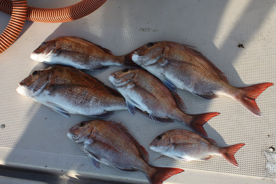 三人真鯛釣果