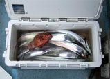 釣果(ガシラとタチウオ14匹)